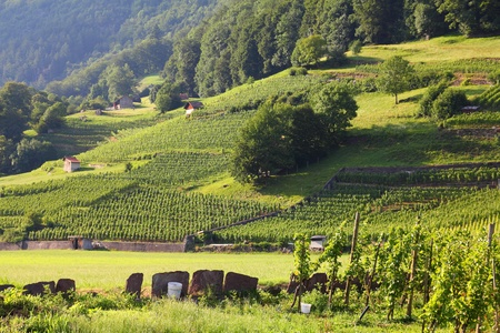 st  gallen: Vi�edos en Walenstadt en la regi�n Sarganserland del cant�n de St. Gallen. Los Alpes en Suiza. Foto de archivo