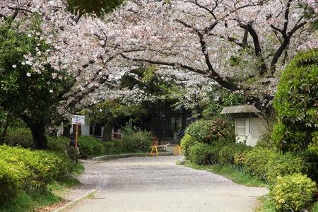sumida: Tokyo, Japan - cherry blossoms (sakura) at famous Sumida park. Cherry petals blizzard. Stock Photo