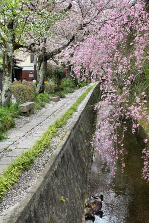 philosopher's: Kyoto, Japan - Philosophers Walk, a hiking path famous for its cherry blossom (sakura)
