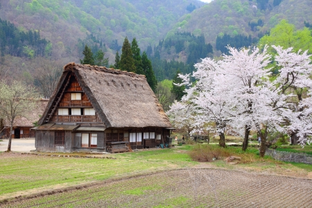 Japan - house with thatched roof and cherry blossom (sakura) in Shirakawa-Go, famous village listed as UNESCO World Heritage Site. Gifu prefecture.