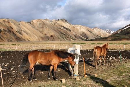 felsic: Iceland mountains. Famous volcanic area with rhyolite rocks - Landmannalaugar and Icelandic horses.