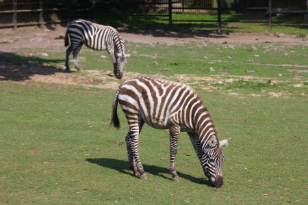 zoological: Zebras in zoo. Animal in Silesian Zoological Garden in Chorzow, Poland. Stock Photo