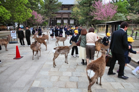 NARA, JAPAN - APRIL 26: Visitors feed wild deer on April 26, 2012 in Nara, Japan. Nara is a major tourism destination in Japan - former capita city and currently UNESCO World Heritage Site.