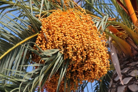 dioecious: Date palm (Phoenix dactylifera) - dioecious plant in Croatia