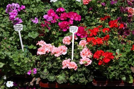 geranium color: Geranium flower pots on sale at a marketplace in Mainz, Germany