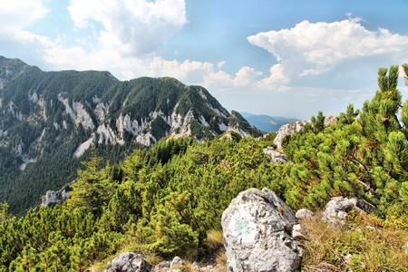 mugo: Piatra Craiului National Park in Romania - hiking trail to Piatra Mica in Southern Carpathians  High altitude forest of Mugo Pine  Pinus mugo   Stock Photo