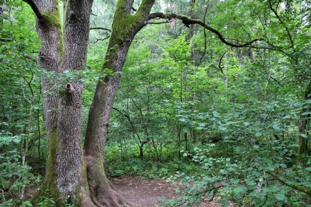 Bialowieza forest photo