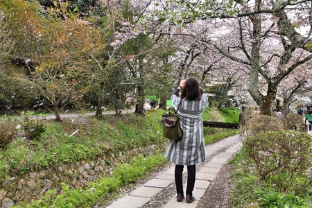 philosopher's: Kyoto, Japan - Philosophers Walk, a hiking path famous for its cherry blossom (sakura). Woman takes photo of cherry petal rain. Stock Photo
