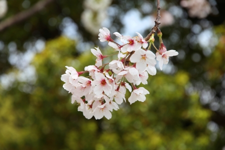 Tokyo, Japan - cherry blossoms (sakura) at famous Sumida park. Cherry petals. Фото со стока - 18531088