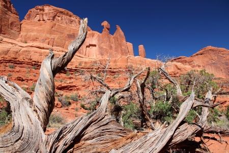 ut: Arches National Park in Utah, USA  Juniperus osteosperma  Utah juniper  next to famous Park Avenue trail