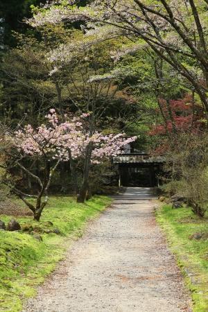 Nikko, Japan - park with spring cherry blossom (sakura) trees photo