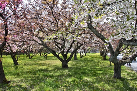 nijo: Kyoto, Japan - cherry trees (sakura) at Nijo Castle park.