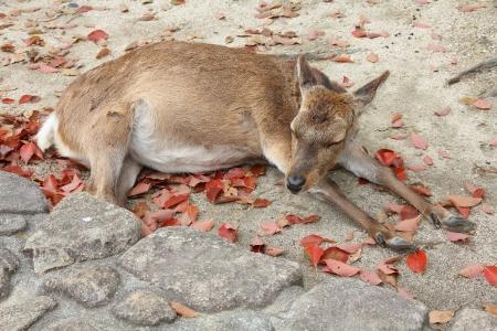 tame: domesticar ciervo salvaje de Miyajima