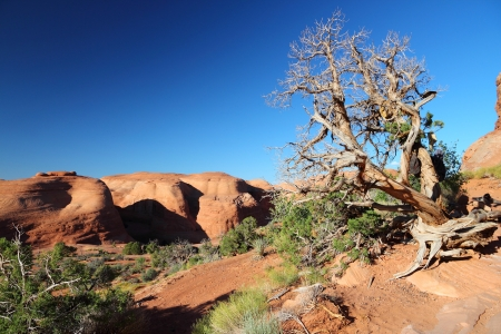 Arches National Park in Utah, USA. Juniperus osteosperma (Utah juniper) dead tree. Stock Photo - 25183947