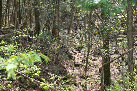 infamous: Infamous Aokigahara forest in Fuji-Hakone-Izu National Park of Japan. The forest is known as Suicide Forest. Up to 100 suicides take place here every year.