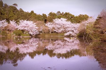 flor de cerezo: Kyoto, Jap�n - flores de cerezo (Sakura) en el famoso jard�n del templo Ryoanji. Procesamiento Cruz tono de color - filtra estilo retro.