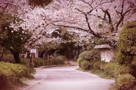 일본 도쿄 - 유명한 스미다 공원에서 벚꽃 (사쿠라). 벚꽃 눈보라 꽃잎. 크로스 처리 색상 톤은 복고 스타일 - 필터링. 스톡 콘텐츠