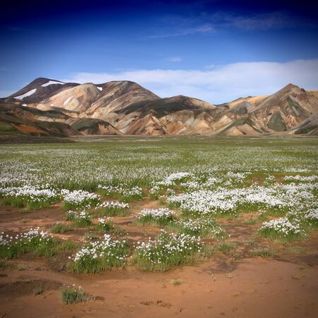 plateau of flowers: Landmannalaugar, Iceland. Beautiful mountains and white cottongrass flowers. Famous volcanic area with rhyolite rocks. Square composition.