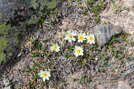 rocky mountain national park: Nature in Rocky Mountain National Park in Colorado, USA. Wildflowers of mountain avens (Dryas octopetala) species, also known as white dryas or white dryad. Stock Photo