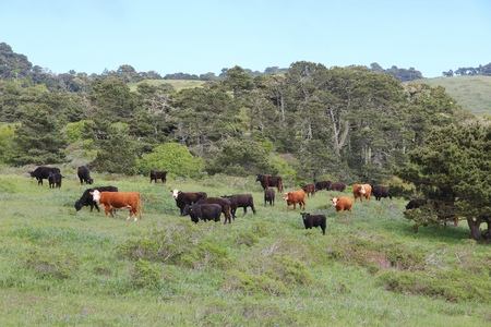 marin: Marin County cattle ranch in California, USA. Grazing cows.