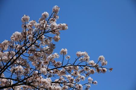 Tokyo, Japan - cherry blossom (sakura) at famous Ueno park. photo