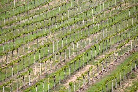 agricultural area: Vineyards in Tuscany - rural Italy. Agricultural area in the province of Siena. Stock Photo