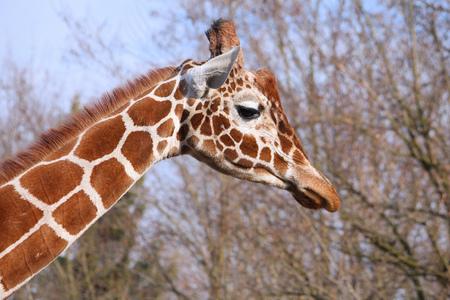giraffa camelopardalis reticulata: Giraffe in Wroclaw Zoo, Poland. African mammal - reticulated giraffe (Giraffa camelopardalis reticulata).