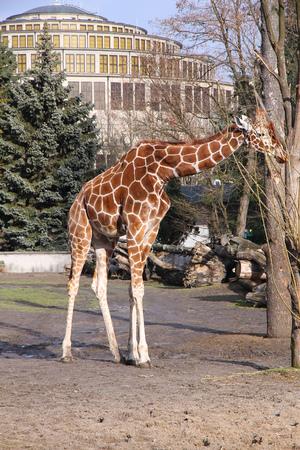 camelopardalis reticulata: Giraffe in Wroclaw , Poland. African mammal - reticulated giraffe (Giraffa camelopardalis reticulata).