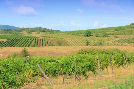 wine growing: Tokaj, Hungary - wine growing region. Vineyard in summer. Stock Photo