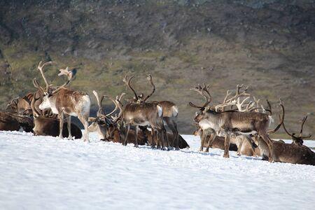 jotunheimen national park: Norway nature - Jotunheimen National Park. Reindeer herd on snow. Stock Photo