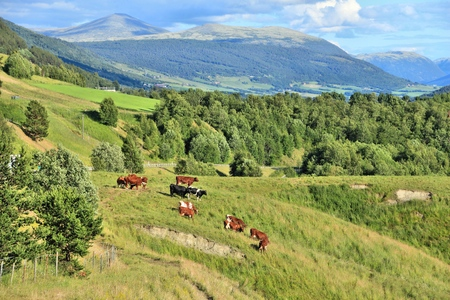 agricultural area: Cattle in Norway. Agricultural area in the region of Oppland.