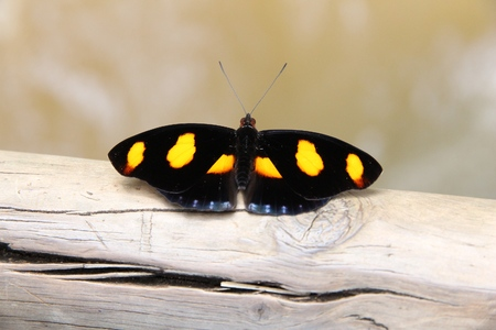 grecian: Butterfly species in South America - Catonephele numilia (known as Blue-frosted Catone, Grecian Shoemaker, or Stoplight Catone). Stock Photo