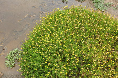 invasive plant: Cotula coronopifolia (known as buttonweed or brass buttons) - Asteraceae family plant in California. Mildly invasive species. Stock Photo