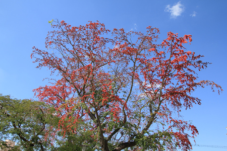 flamboyant: Royal Poinciana also known as flamboyant tree (Latin: Delonix regia). Red blooming tree in Cuba. Stock Photo