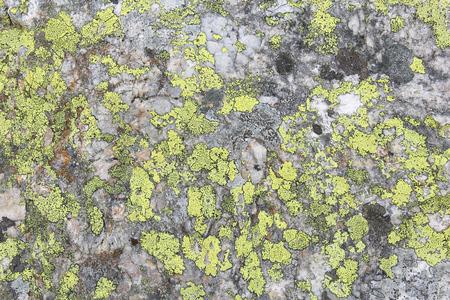 quartzite: Map lichen (Rhizocarpon geographicum species) background. Lichen growing on quartzite rock.