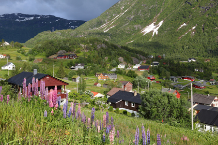 lupin: Roldal, Norway. Countryside landscape with lupin flowers in Hordaland region.