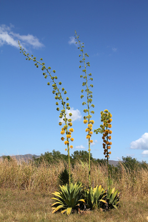 century plant: Blooming agave plants in Cuba. Also known as century plant or maguey.