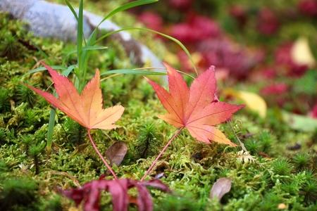 Japan autumn leaves - red maple leaf on moss in Yoshikien Garden, Nara.