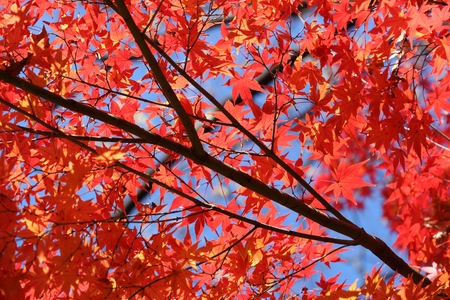 Autumn leaves in Japan - red momiji leaves (maple tree) in Tokyo park.