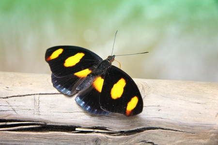 Butterfly species in South America - Catonephele numilia (known as Blue-frosted Catone, Grecian Shoemaker, or Stoplight Catone). Stock Photo