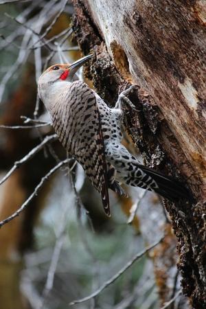 Gilded flicker woodpecker (Colaptes chrysoides) - bird species in Yosemite National Park, USA.