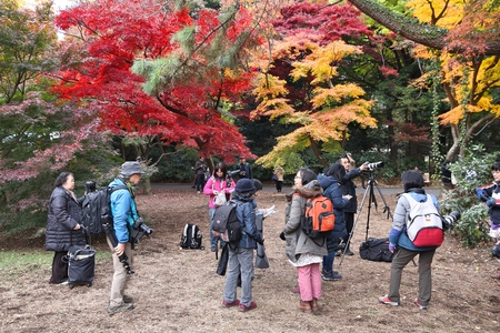 koyo: TOKYO, JAPAN - NOVEMBER 30, 2016: Photographers visit Shinjuku Gyoen in Tokyo, Japan. Shinjuku Gyoen park is notable for its celebration of autumn leaves. Editorial