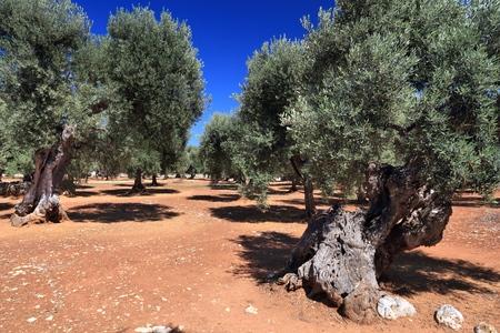 De olijfbomen van Apulië - olijfolie makend gebied in Bari-Provincie, Italië.
