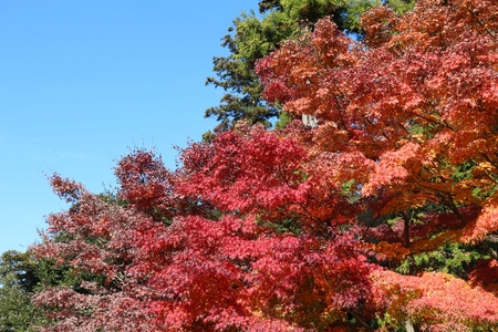 koyo: Autumn leaves in Japan - red momiji leaves (maple tree) in Kamakura park.