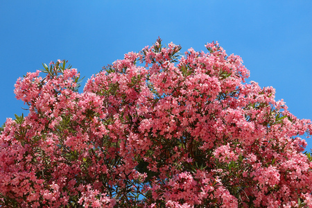 Large Oleander Tree Pink Flowers In Lecce Italy Stock Photo