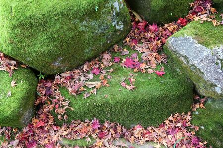 Autumn leaves in Japan - red momiji leaves (maple tree) in Kyoto.