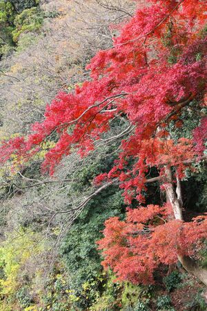 momiji: Autumn leaves in Japan - red momiji leaves (maple tree) in Kamakura park.