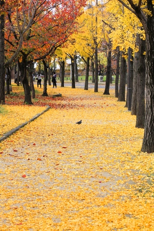 Ginkgo trees autumn leaves in Osaka Castle Park, Japan. Stock Photo