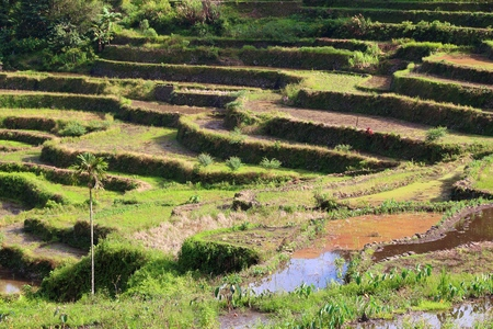 Philippines rice terraces - rice cultivation in Batad village (Banaue area).