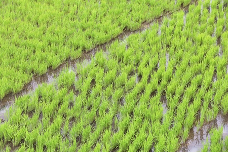 Rice seedlings field - green rice paddy in Batad, Philippines.